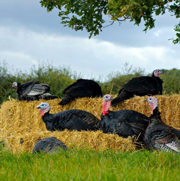 Norfolk Black turkeys on hay bales